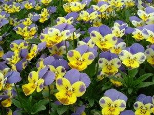Flowers - Viola Tricolour