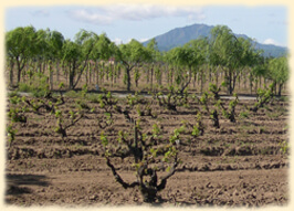 Cline Cellars Ancient Vines