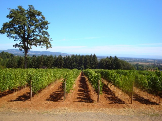 Grapevines at Durant Vineyards in Willamette Valley Oregon