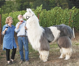 Rain Dance Vineyards – Wine and Llamas