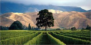 NZ Vineyard