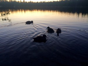 ducks at dusk