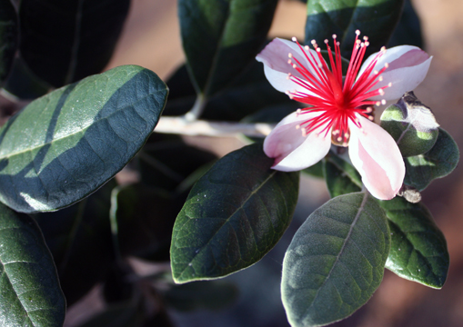 Pineapple Guava Care: A Diamond In The Rough