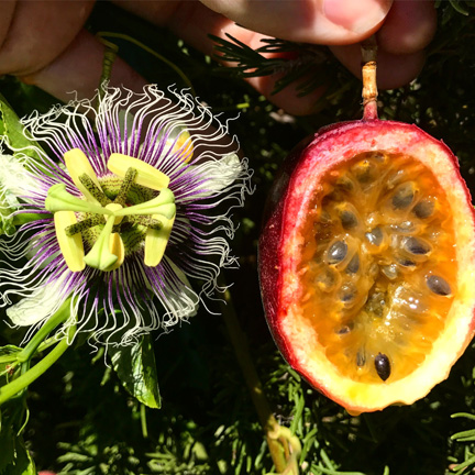 How To Grow Passion Fruit - TastyLandscapeTastyLandscape