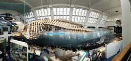 Whale Section at Natural History Museum