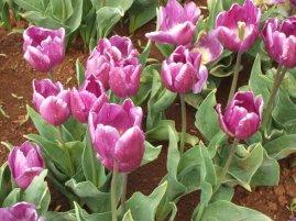 Tulips at Wynyard.