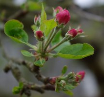 The first apple blossom.