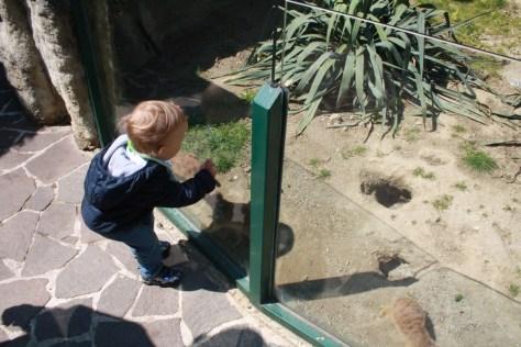 Posjetite li zagrebački Zoološki vrt u Maksimiru, svakako se zaustavite uz nastambu Merkata. Vidjeti ćete da je to pun pogodak.