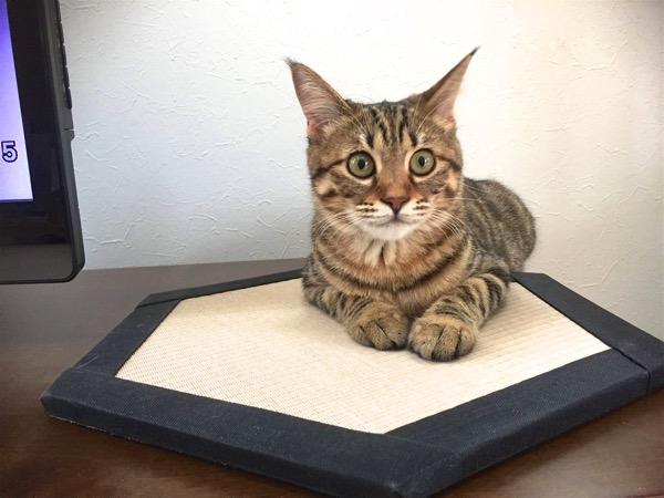 西宮市CoCoちゃんが気に入った猫専用置き畳コット