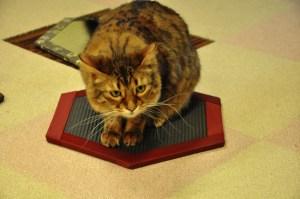 猫と遊ぶための畳です【猫グッズ】