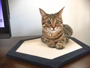 """2月22日の今日は、 """"ニャン(2)ニャン(2)ニャン(2)""""で「猫の日」。そうだ!猫専用置き畳「コット」があるぞ!"""