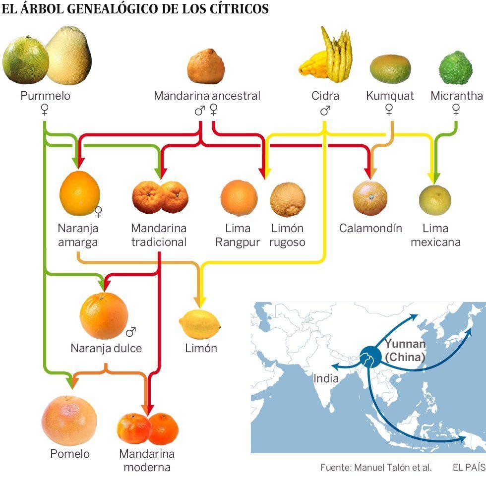 árbol genealógico de los cítricos