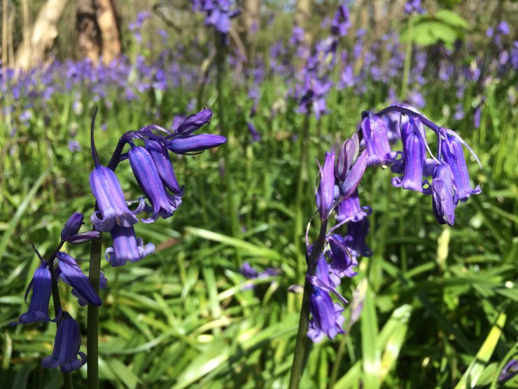 Bluebells are so pretty!