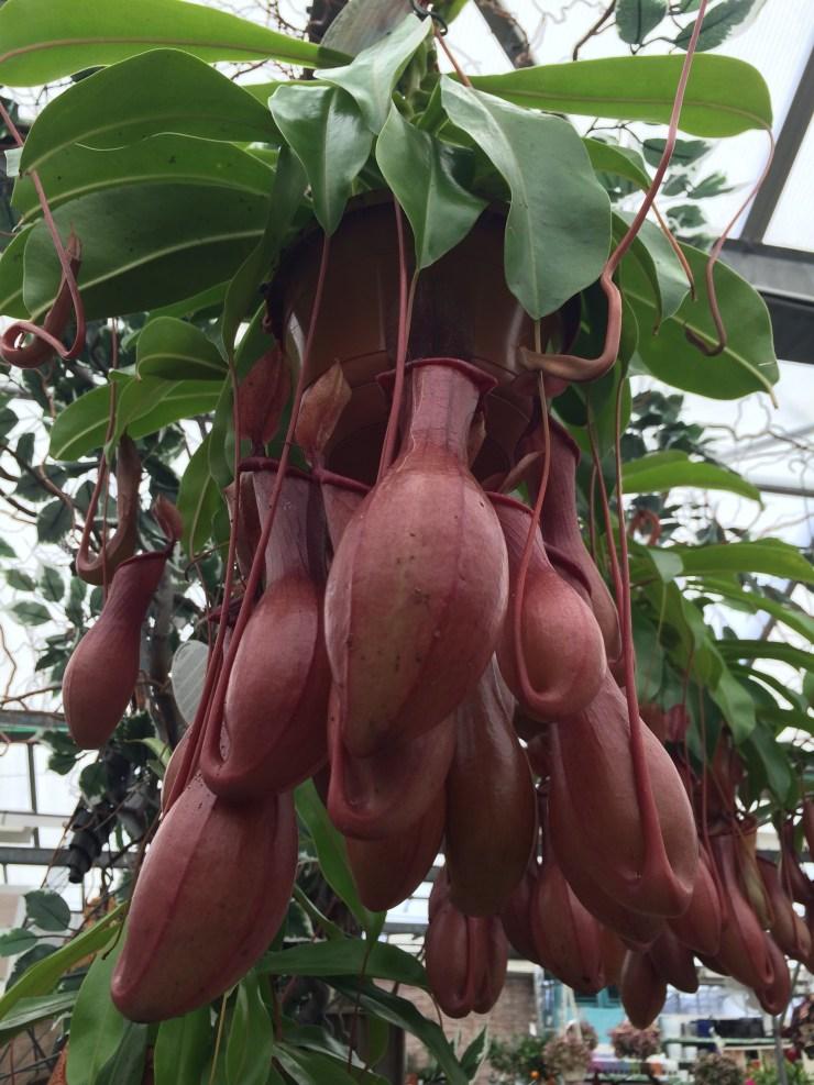 Carnivorous indoor plant Nepenthes copelandii