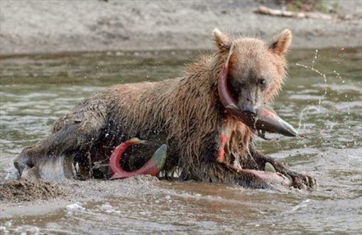 amçatkadaki ayıların bu kadar çok almasının sebeplerinden biri de somon balıklarının yumurtlamak için buraya gelmesidir.