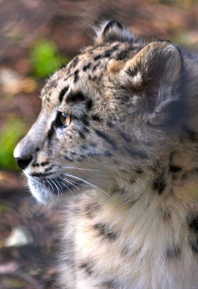 6 Month Old Snow Leopard Cats Snow Leopard Snow Ideas And Designs