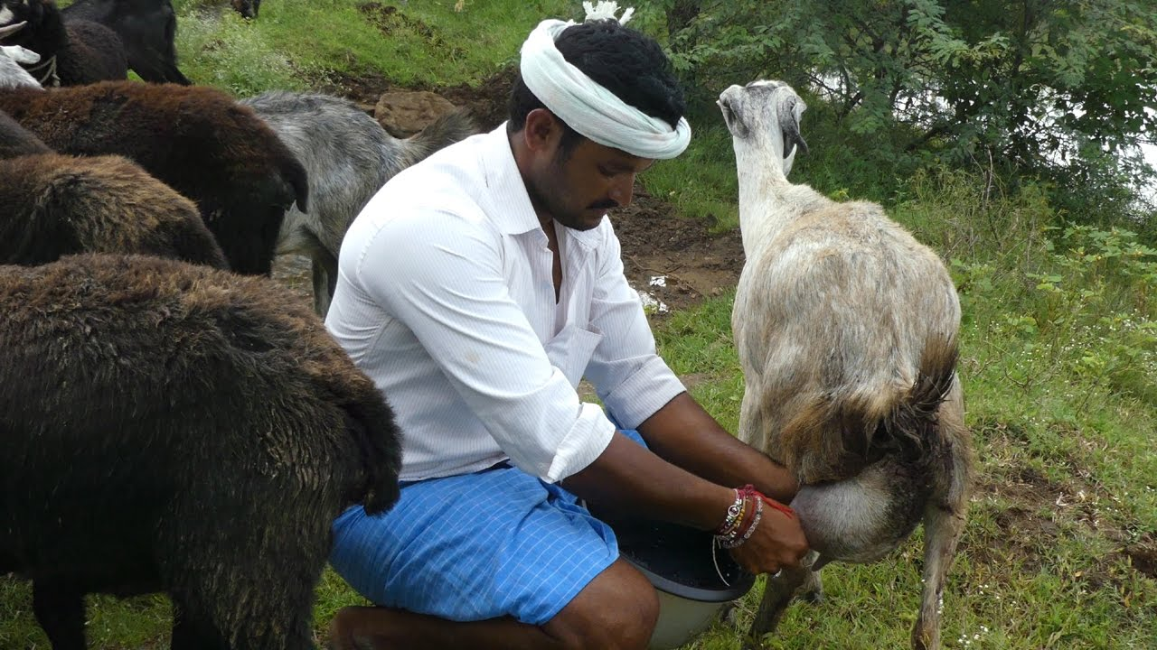 Goat Milking And Making Goat Milk Cheese How To Make Ideas And Designs