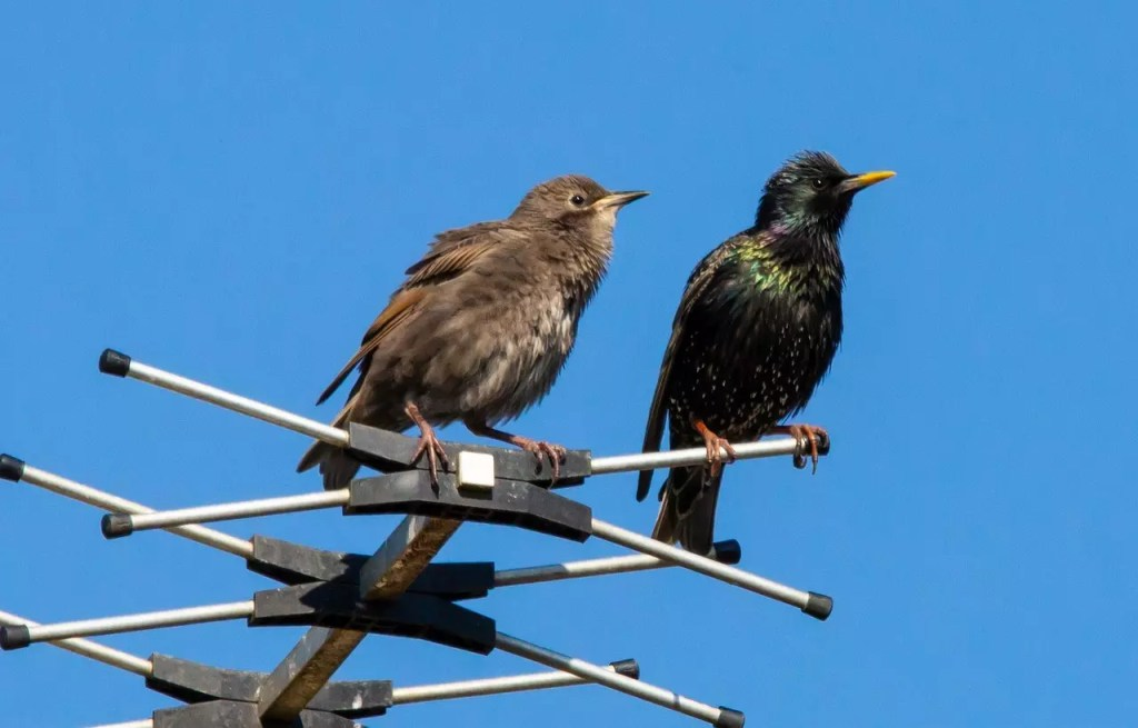 starlings on an aerial 5177169 1280