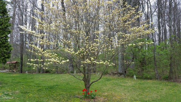 early dogwood