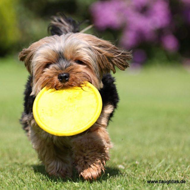 Yorkie mit Frisbee