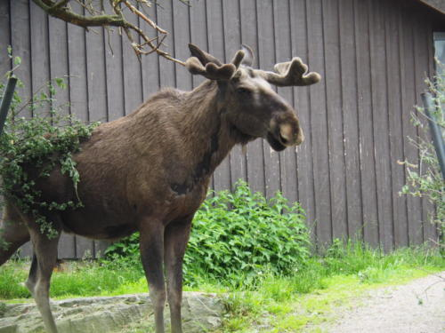 Das gibt's nur in Göteborg: Elche mitten im Stadtpark