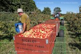 Pickers are busy at Bickle's Orchard Park Farms on Highway 59 south of Tavistock these days with new varieties ripening every day. At left, a harvest of Honeycrisp apples is taken back to the warehouse for grading and sales.