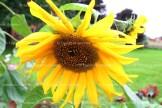 Garry Jenkins' sunflowers in his garden.