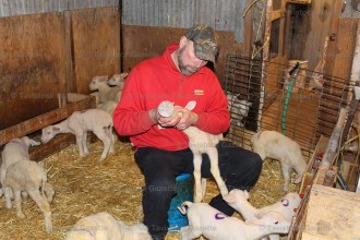 Dave Wagler bottle feeds a lamb while training others to feed from the automatic milker (bottom right) at Cedar Vewe Dairy Sheep Farm west of Tavistock.
