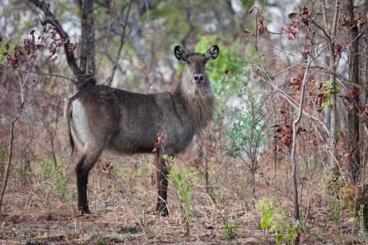 Kafue National Park, Zambie