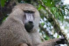 Kibale Forest, Ouganda