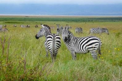 Zèbre du Parc Kruger - Afrique du Sud
