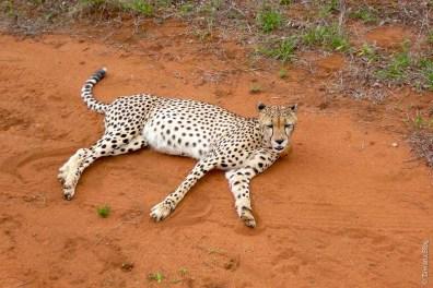 Les tâches du guépard sont assez espacées et ses pattes sont très longilignes.
