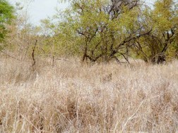 Léopard camouflé dans les herbes hautes
