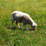 Sheep at Tawanda Farm