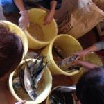 高島の無農薬栽培の糠で漬ける!ひと樽へしこ漬けワークショップ第三弾のお知らせです。
