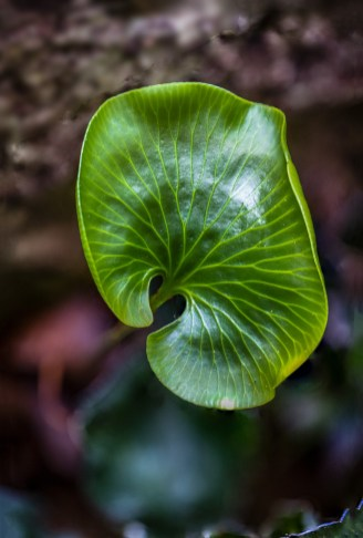 New Zealand Kidney Fern