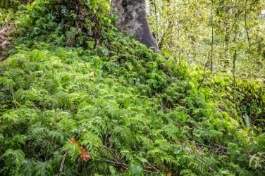 New Zealand Kidney Ferns