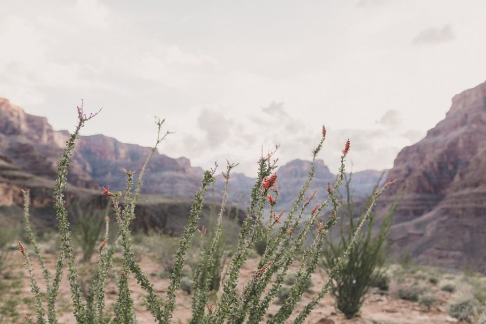 Grand Canyon flowers