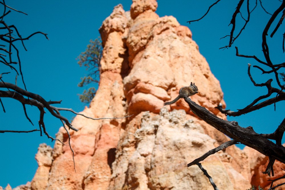A chipmunk chews on a nut while balancing on a tree in front of red rock hoodoos in bryce canyon national park, utah