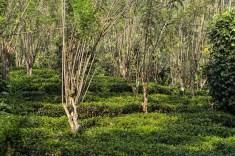 Tea and shade trees