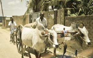 trinco to batti cow cart