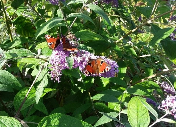 A photo of peacock butterflies on buddleya