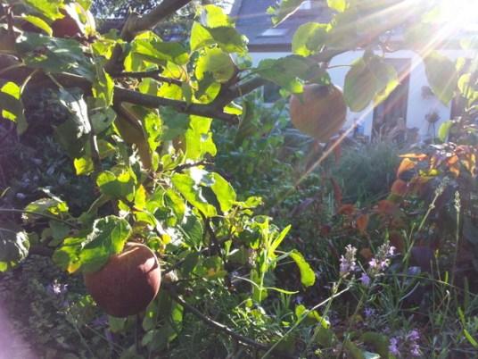 Apples in the sunshine
