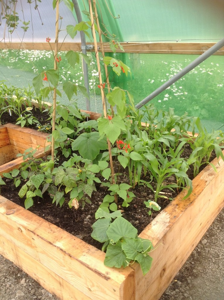Raised beds in polytunnel with corn, beans and squash
