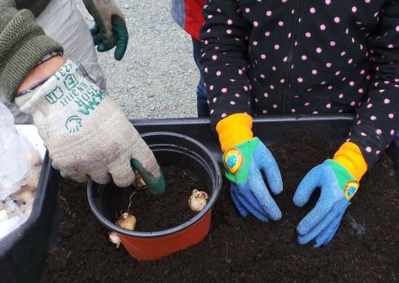 Photo of placing bulbs in pot