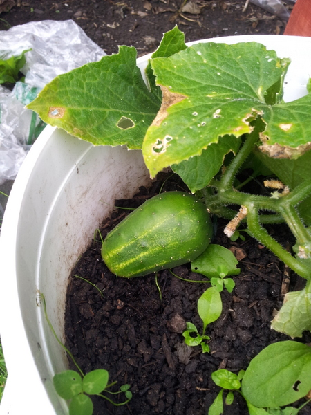 A photo of a small cucumber fruit on a plant in a container