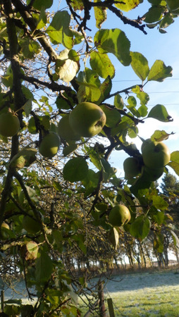 A photo of green apples on a tree