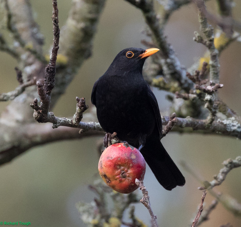 A photo of a blackbird sitting on an apple in a tree