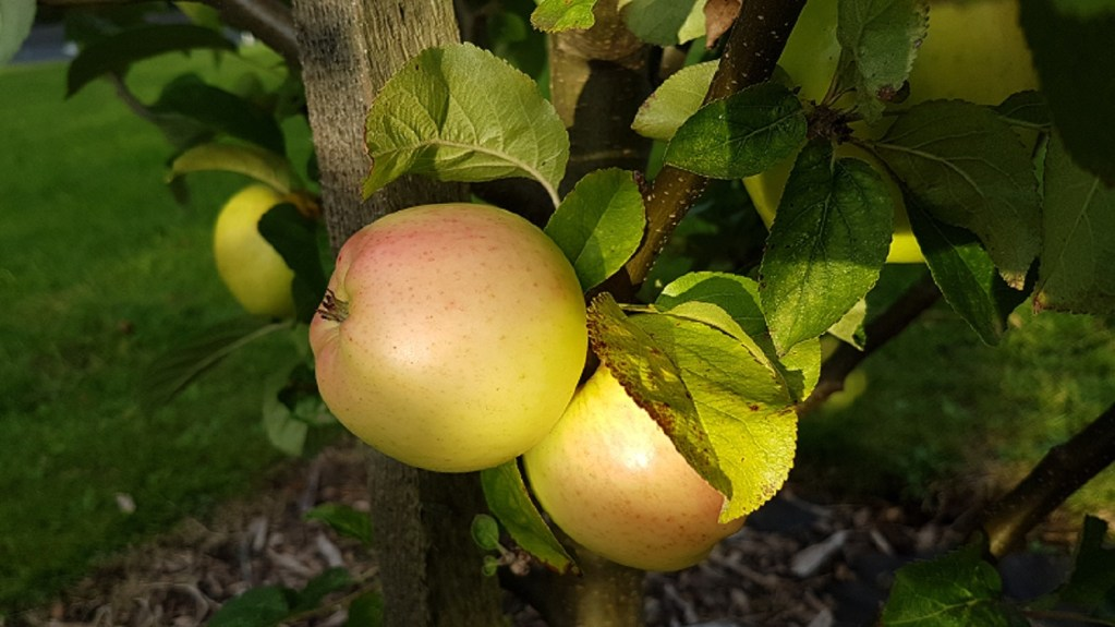 A photo of a A White Melrose Apple at the Fruit Tree Walk