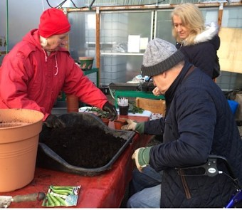 A photo of Frances helping Sandy sow broadbeans in the polytunnel